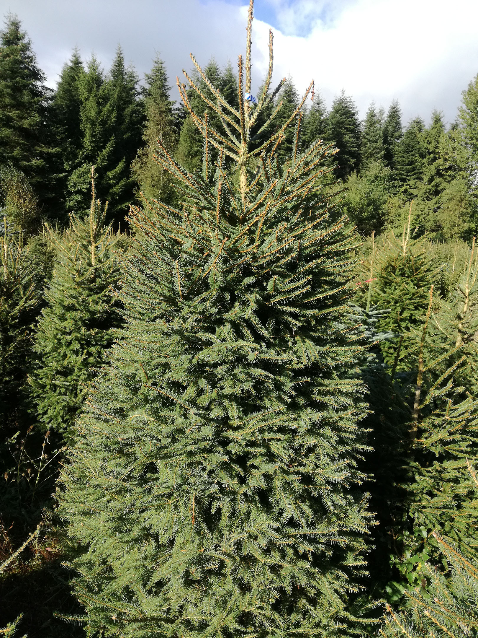norway spruce christmas tree picea abies picea abies