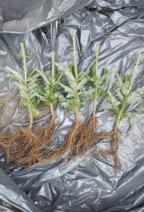 Fraser fir plants wholesale Denmark Europe