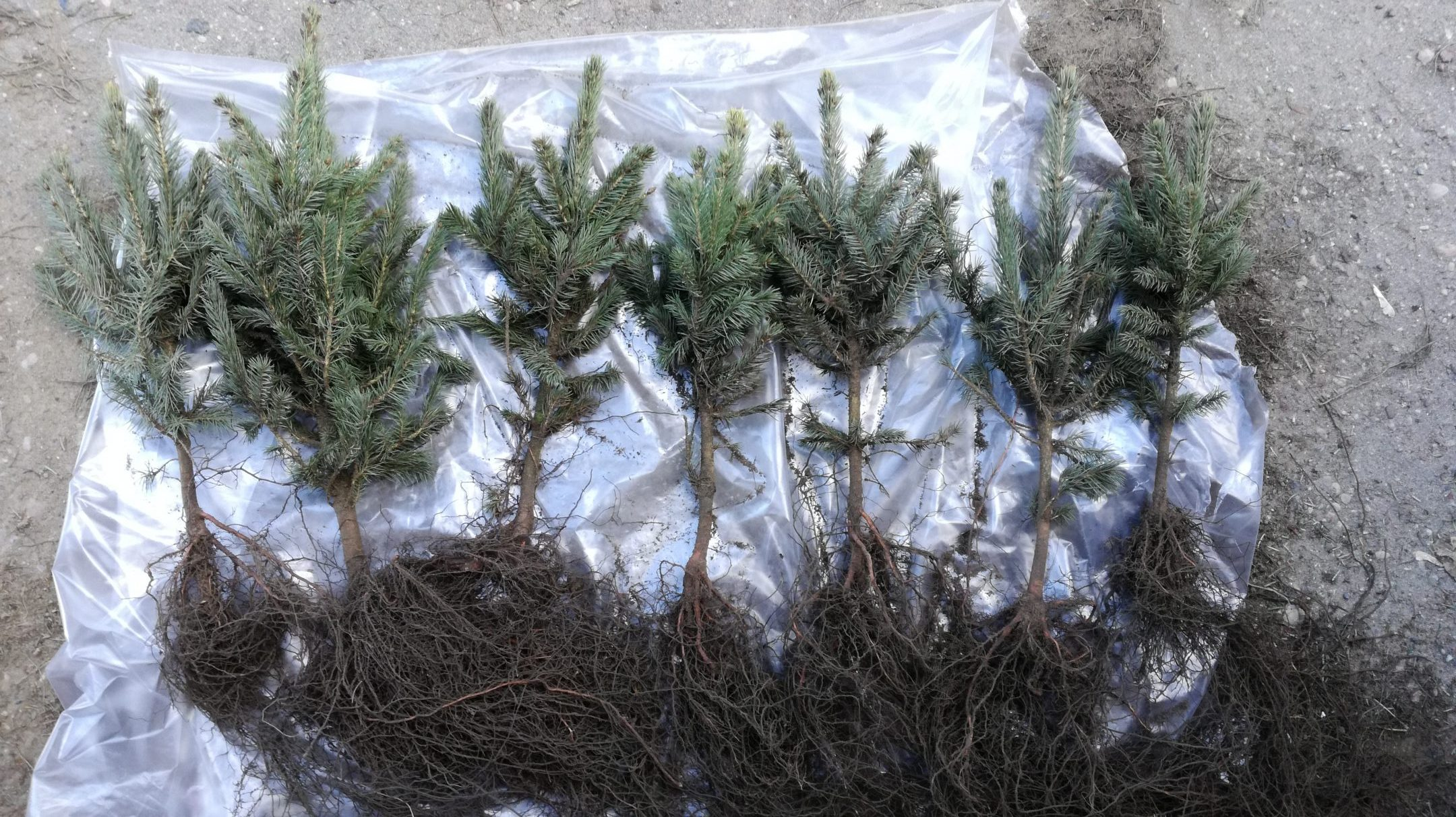 Picea pungens seedlings 2+2