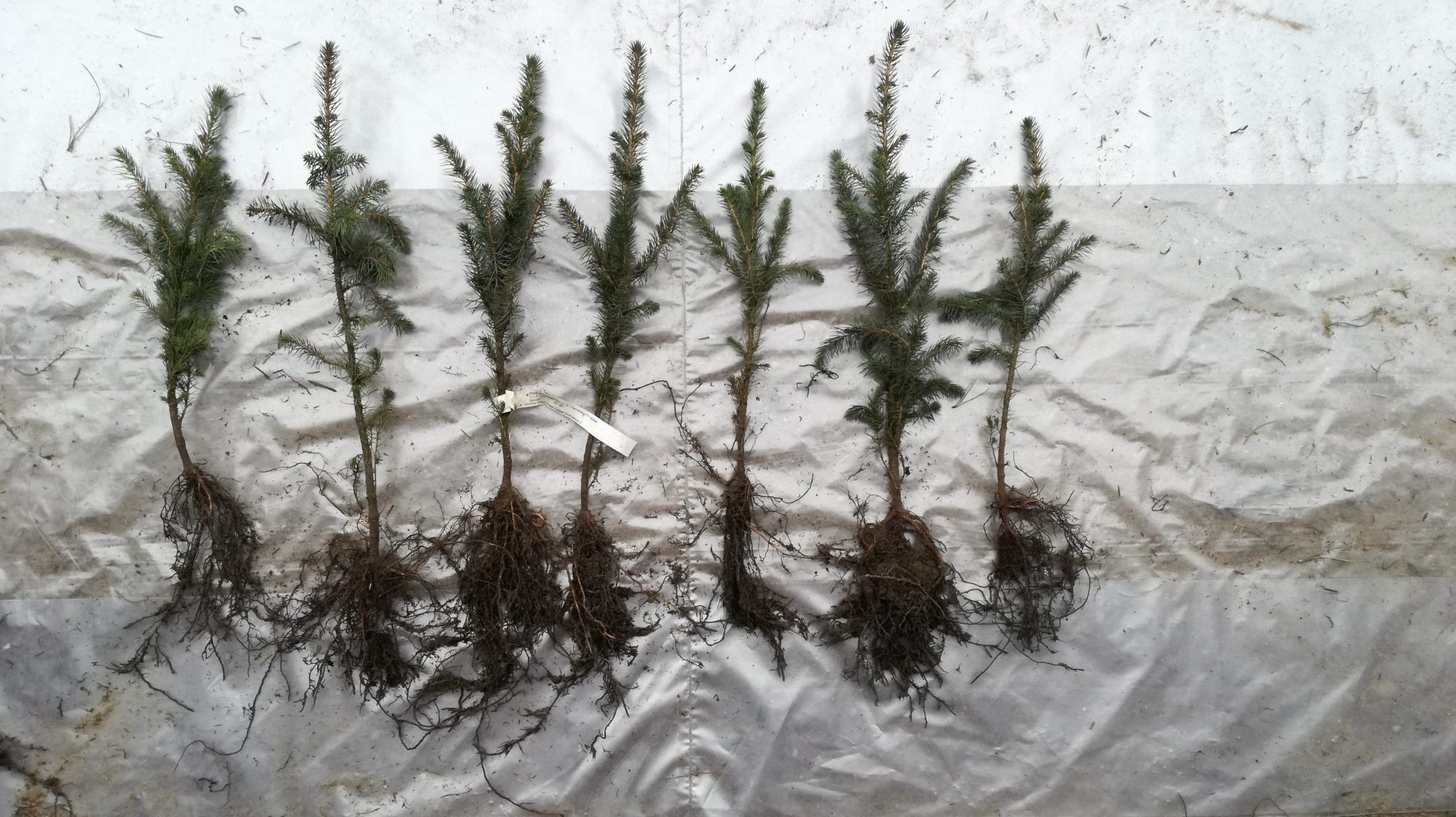 Picea sitchensis plants 2+1