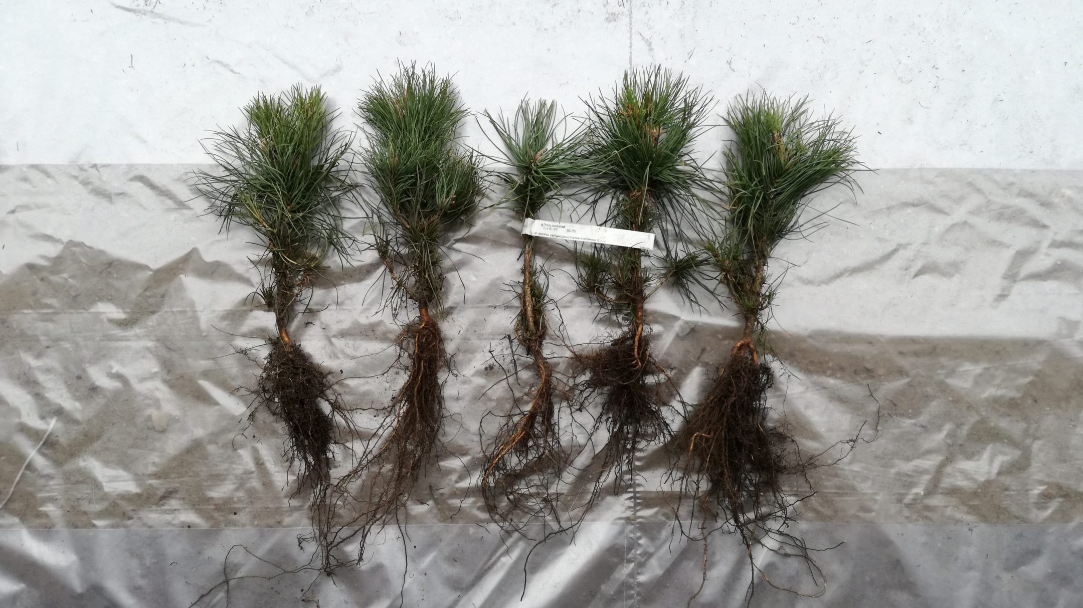 Pinus contorta seedlings 1+1