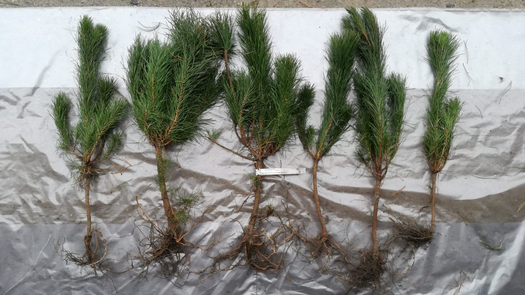 Pinus contorta seedlings 1+2